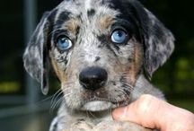 Catahoulas / I have had 3 Catahoulas in my life. Not recognized by the AKC, but they are one-of-a-kind super-intelligent and charming dogs with a unique history: http://en.wikipedia.org/wiki/Catahoula_Cur