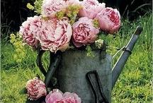 Pioen rozen / Favoriete bloemen