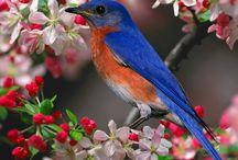 Bird, Bluebird Jays  / Bluebird/Solitaire/Veery/Thrush/Robin family (Turdidae); the Catbird/Thrasher/Mockingbird family (Mimidae), and the Starling family (Sturnidae).  / by Erika Moore