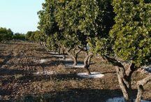 Mastic Tree / Skinos