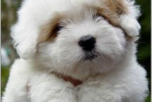 Coton Puppies / Coming soon to our house!!!  UPDATE AUGUST 2015: We have our Coton puppy!!!