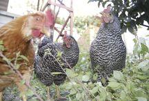 garden: chicken coops