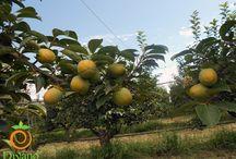 Coltivazione cachi Divano SETTEMBRE 2015 / La coltivazione di cachi tipo e cachi Rojo brillante fotografati a settembre 2015.  www.divanosrl.it #cachi #persimmon #kaki #italian