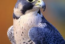 L Falcon/Eagel