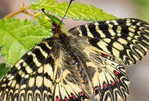 motýlý