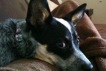 zoey marie, cattledog/ blue heeler / long live the cattledog - this pain-in-the-ass breed, you have to know them to love them...  and we love her dearly.  zoey marie is our blue heeler / by Robin ZoeyMarie
