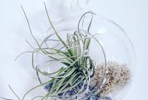 Airplants in the shop