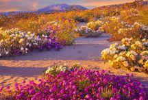 Death Valley Desert Super Bloom
