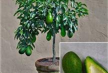 Árvores (frutas) em vasos