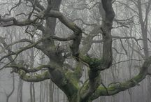 The Mighty Oak / The mighty oak in its rawest, truest most untouched perfect form