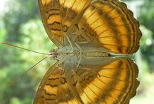 Kelebekler - Butterfly
