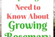 Rosemary grow
