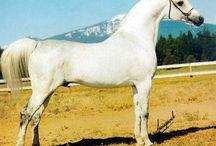 Exelsjor / Exelsjor - Pure polish legendary stallion!