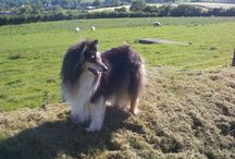 Collies and Horses (and the odd Bunny) / Collies and Horses and Bunnies