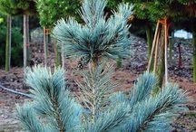 Pinus flexilis - Sosna giętka