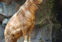 golden takin and more