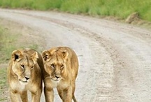 Lions & Other Wildlife