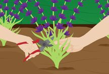 How to Grow Lavender / How to Grow Lavender