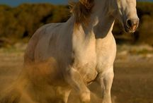 Les chevaux Camarguais / Voici, une race à l'air sauvage ...