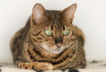 Moss the bengal cat