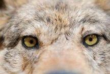 lupi orsi