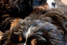 Bernersenner / Mooie honden Bernersenner