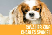 """Cavalier King Charles Spaniel / You can't help being enchanted by the big, twinkling eyes of the Cavalier, a gentle, pint-sized bundle (13 to 18 pounds) of tail-wagging joy. Friendly and easily trained, the Cavalier is an ideal companion for families with young children and other pets. """"Sex and the City"""" fans will recognize this breed as the same as Charlotte's dog, Elizabeth Taylor, but they first gained popularity as the preferred pet of King Charles II."""