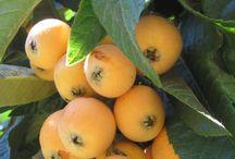 Fruit trees / Loquats