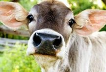 Moo Moo Foofy Cow