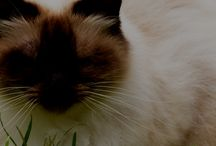 Persian / featuring articles about Persian breed information, cat selection, training, grooming and care for cats and kittens.