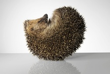 I ❤ hedgehogs!