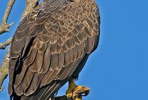 Rov-fugle