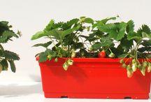 CORMA plants - colecciones / Una gran variedad de plantas se producen en Corma, aquí te mostramos algunas de ellas!