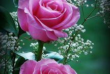 Roses plantes :))