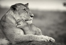 Long live the King... I  Lions / Beautiful creatures. Big cats. Leaders of the Nature.