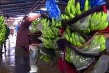 pertanian pisang modern