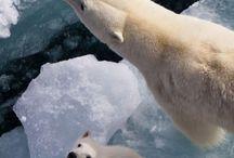 jegesmedvék és barátaik