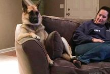 Funny GSDs / Funny GSDs