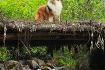 Rough Collies / The noble and beautiful rough collie.  In honor of our special collie, Gunnar!