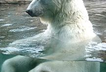 medvědi