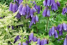Campanula Combinations / Plant partnerships that include bellflowers