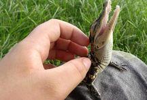 38 cutsie baby gators