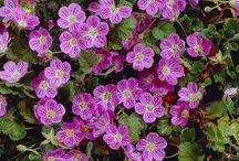 Perennaan kukkia