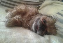 Ari kutyám / Palota pincsi kutyám