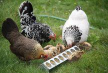 Kippen / Onze krielkippen