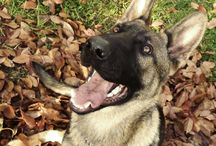 My shadow has four legs and a tail / this is Odin , my dog , a German Shepherd Dog :)