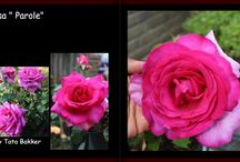 My Roses Collection's