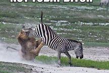 Zebras / My favorite animal / by Tina Grosick