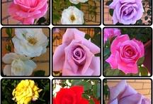 Rose / Only rose