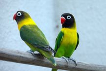 Masked Lovebirds - Agapornis Personata
